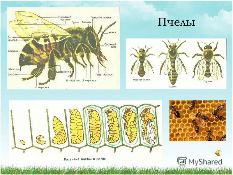 Отряд Перепончатокрылые Представители: пчелы, осы, шмели, муравьи, пилильщики, наездники Ротовой аппарат грызущий или грызущие - лижущий 90 000 видов 2 пары прозрачных перепончатых крыльев; задние короче; сцепляются зацепками