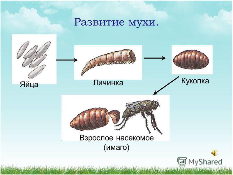 Отряд Двукрыдые Представители: мухи, комары, оводы, слепни… Ротовой аппарат колюще-сосущий или грызущие - лижущий 8 500 видов 1 пара перепончатых крыльев, задние крылья видоизменены в жужжальца