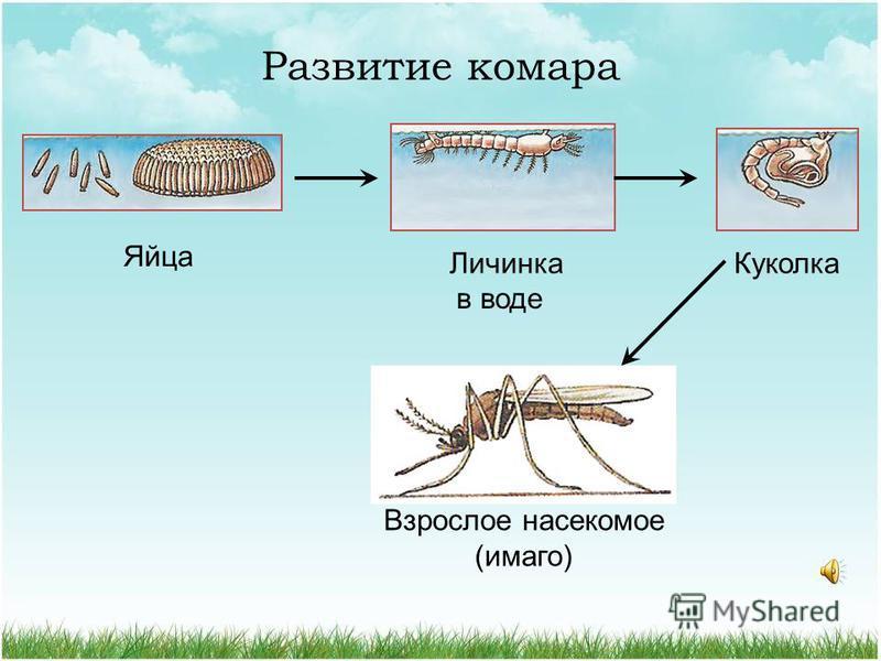Развитие мухи. Яйца Личинка Куколка Взрослое насекомое (имаго)