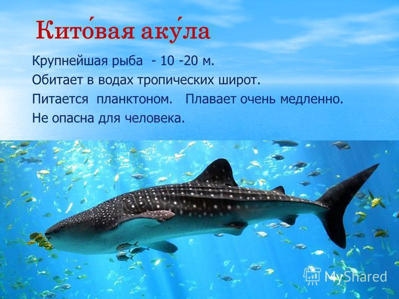 Китовая акула Крупнейшая рыба - 10 -20 м. Обитает в водах тропических широт. Питается планктоном. Плавает очень медленно. Не опасна для человека.