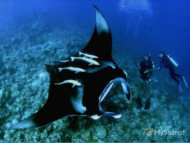 Манта (морской дьявол) самый крупный из скатов ширина 4,5 -7 м масса до 2,5 тонн