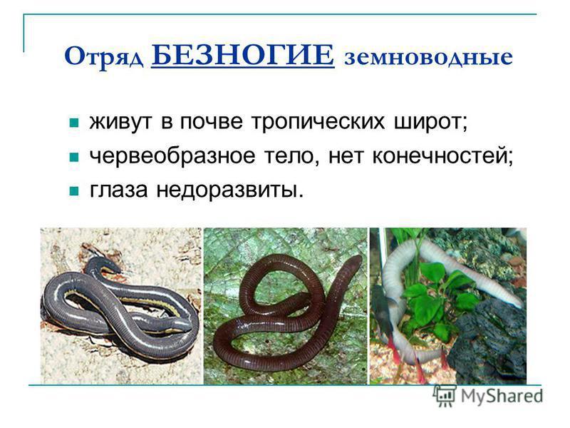 Отряд БЕЗНОГИЕ земноводные живут в почве тропических широт; червеобразное тело, нет конечностей; глаза недоразвиты.