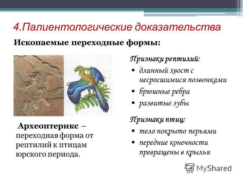 4. Палиентологические доказательства Ископаемые переходные формы: Археоптерикс – переходная форма от рептилий к птицам юрского периода. Признаки рептилий: длинный хвост с несросшимися позвонками брюшные ребра развитые зубы Признаки птиц: тело покрыто