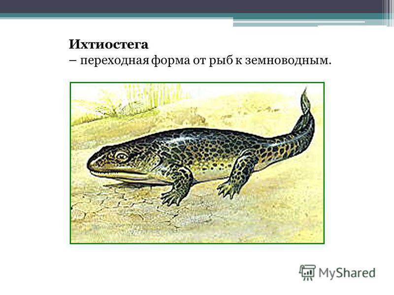 Ихтиостега – переходная форма от рыб к земноводным.