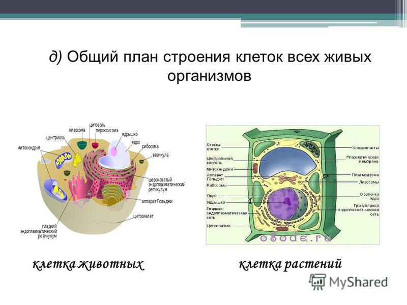 д) Общий план строения клеток всех живых организмов клетка животных клетка растений