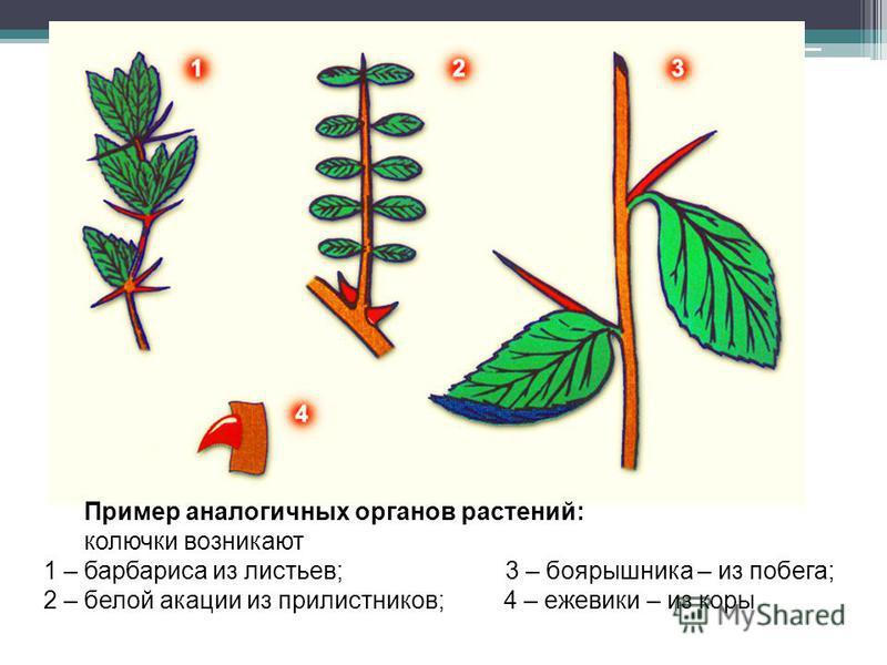 3. Морфологические доказательства Пример аналогичных органов растений: колючки возникают 1 – барбариса из листьев; 3 – боярышника – из побега; 2 – белой акации из прилистников; 4 – ежевики – из коры