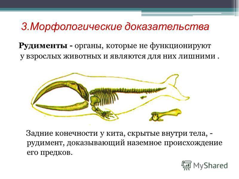 3. Морфологические доказательства Рудименты - органы, которые не функционируют у взрослых животных и являются для них лишними. Задние конечности у кита, скрытые внутри тела, - рудимент, доказывающий наземное происхождение его предков.