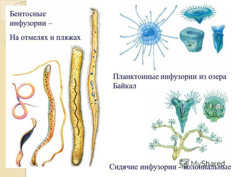 Планктонные инфузории из озера Байкал Сидячие инфузории - колониальные Бентосные инфузории – На отмелях и пляжах