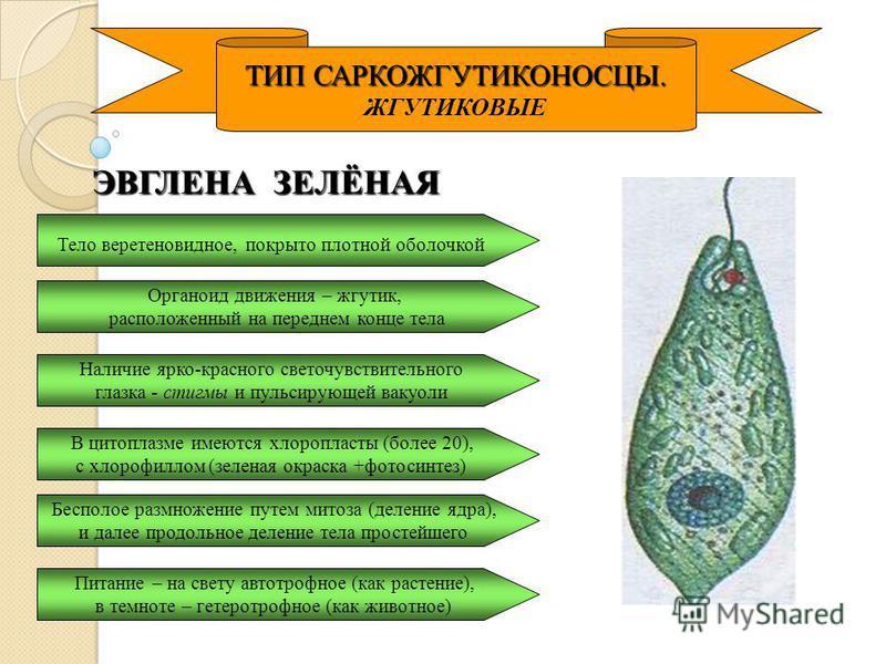 ТИП САРКОЖГУТИКОНОСЦЫ. ЖГУТИКОВЫЕ ЭВГЛЕНА ЗЕЛЁНАЯ Тело веретеновидное, покрыто плотной оболочкой Наличие ярко-красного светочувствительного глазка - стигмы и пульсирующей вакуоли В цитоплазме имеются хлоропласты (более 20), с хлорофиллом (зеленая окр