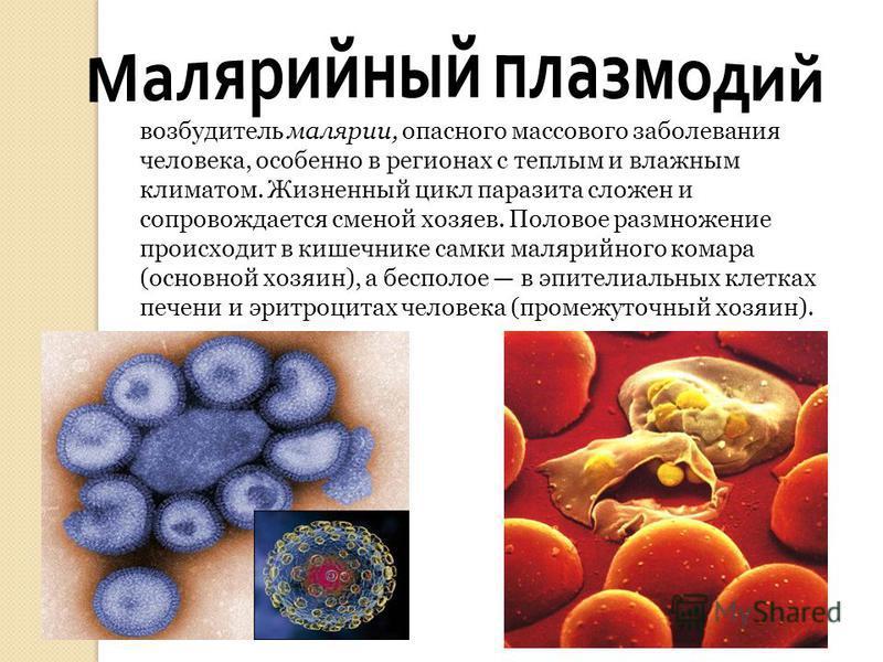 возбудитель малярии, опасного массового заболевания человека, особенно в регионах с теплым и влажным климатом. Жизненный цикл паразита сложен и сопровождается сменой хозяев. Половое размножение происходит в кишечнике самки малярийного комара (основно