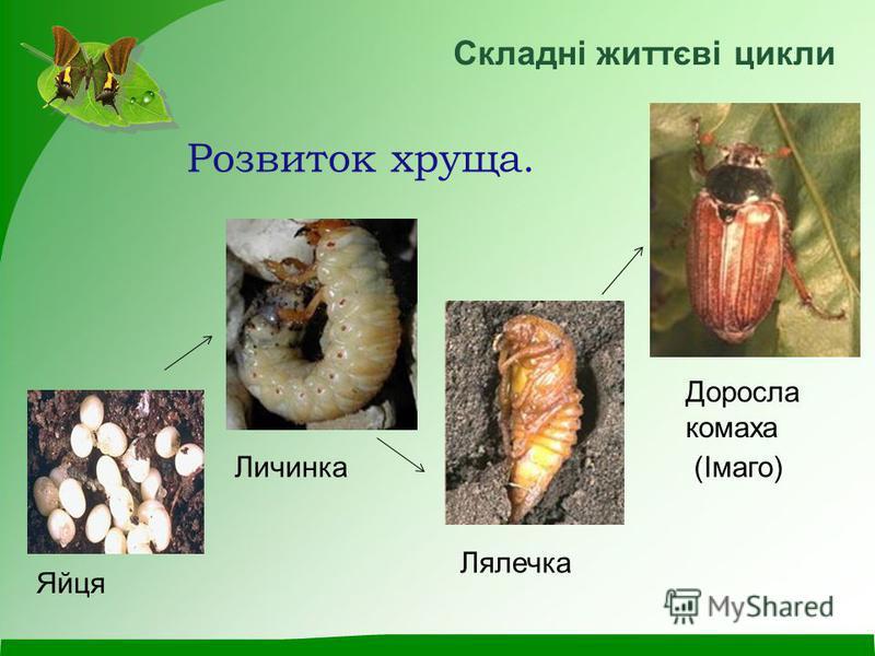 Розвиток хруща. Яйця Личинка Лялечка Доросла комаха (Імаго) Складні життєві цикли