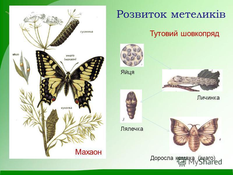Розвиток метеликів Яйця Личинка Лялечка Доросла комаха (імаго) Тутовий шовкопряд Махаон