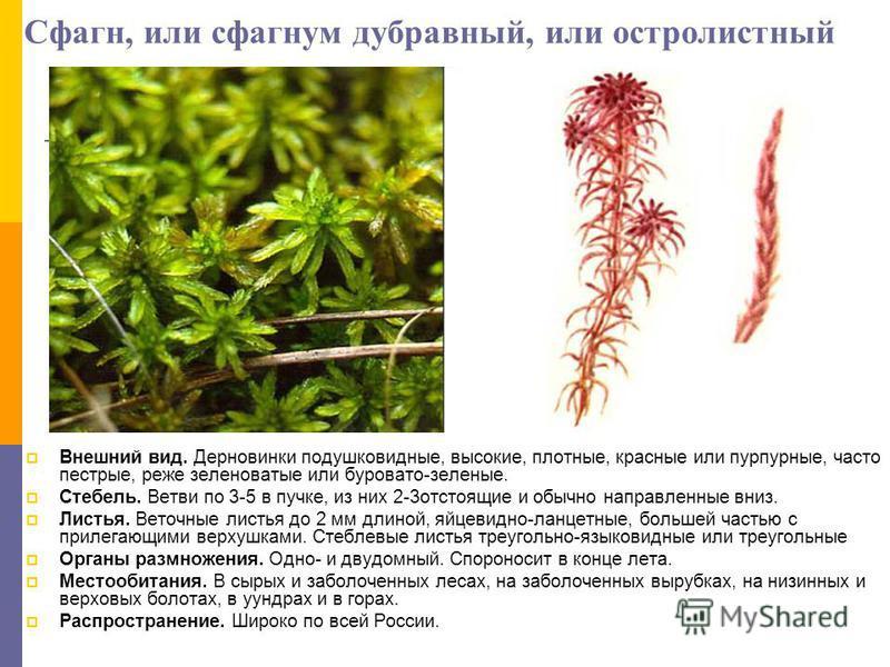 Сфагн, или сфагнум дубравный, или остролистный Внешний вид. Дерновинки подушковидные, высокие, плотные, красные или пурпурные, часто пестрые, реже зеленоватые или буровато-зеленые. Стебель. Ветви по 3-5 в пучке, из них 2-3 отстоящие и обычно направле