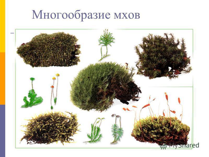 Многообразие мхов