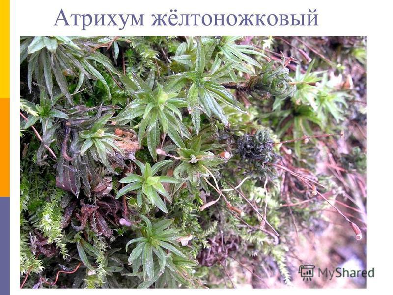 Атрихум жёлтоножковый