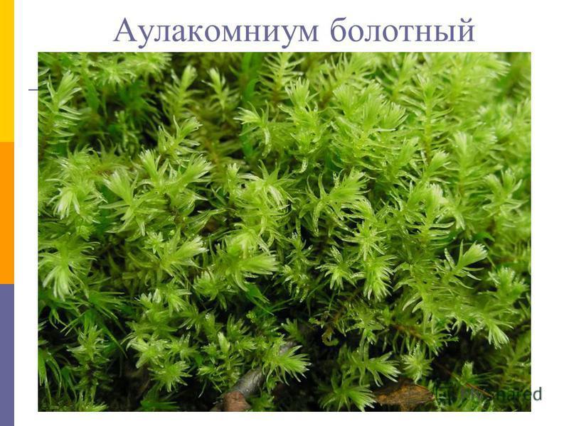 Аулакомниум болотный