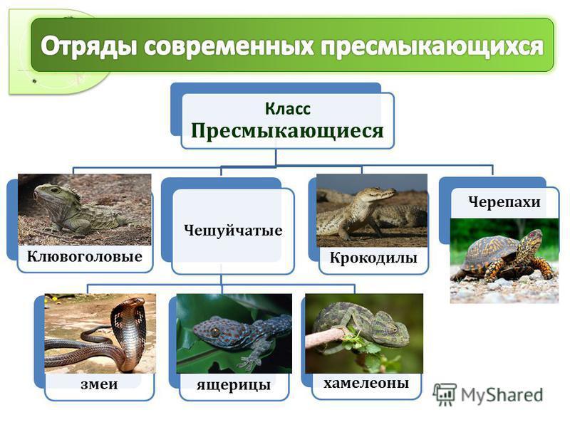 Класс Пресмыкающиеся Клювоголовые Чешуйчатые змеи ящерицы хамелеоны Крокодилы Черепахи