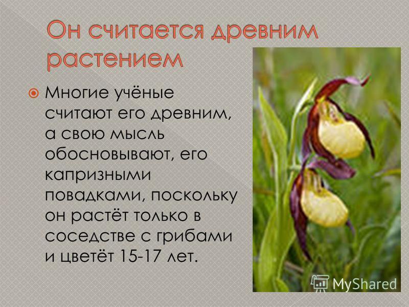 Многие учёные считают его древним, а свою мысль обосновывают, его капризными повадками, поскольку он растёт только в соседстве с грибами и цветёт 15-17 лет.