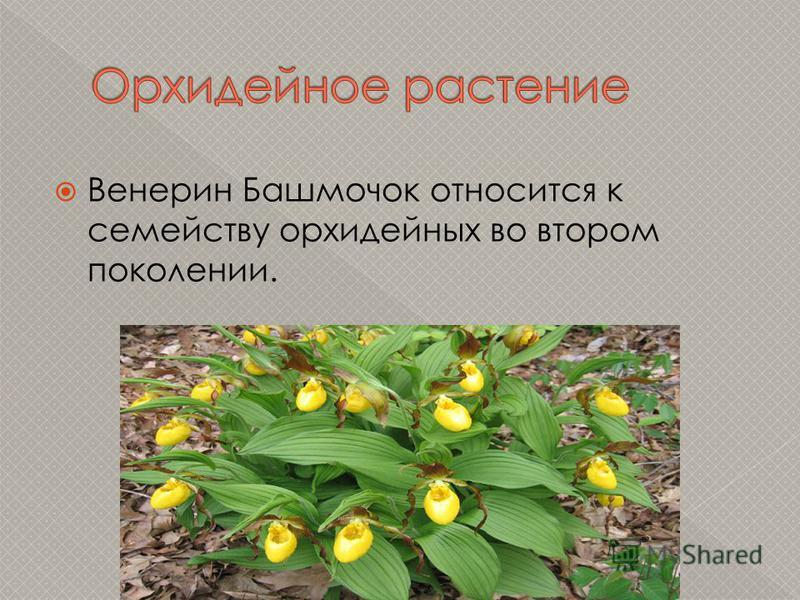 Венерин Башмочок относится к семейству орхидейных во втором поколении.
