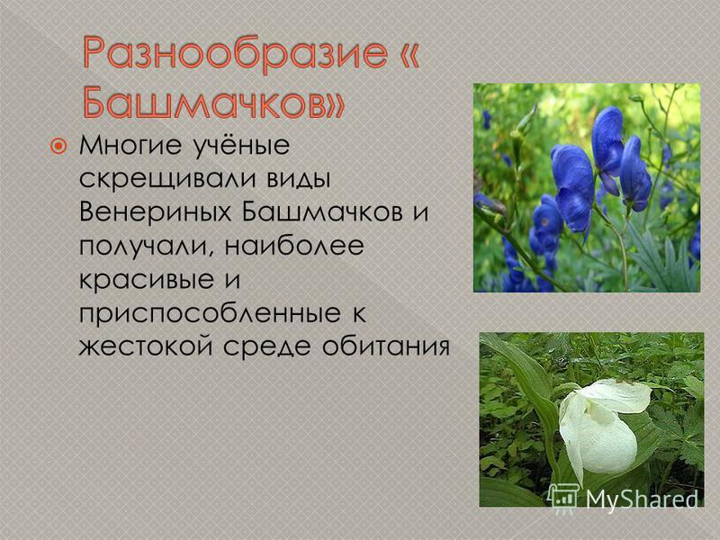 Многие учёные скрещивали виды Венериных Башмачков и получали, наиболее красивые и приспособленные к жестокой среде обитания
