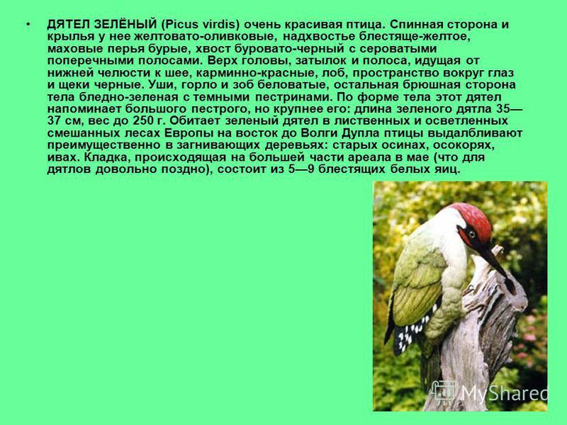 ДЯТЕЛ ЗЕЛЁНЫЙ (Picus virdis) очень красивая птица. Спинная сторона и крылья у нее желтовато-оливковые, надхвостье блестяще-желтое, маховые перья бурые, хвост буровато-черный с сероватыми поперечными полосами. Верх головы, затылок и полоса, идущая от
