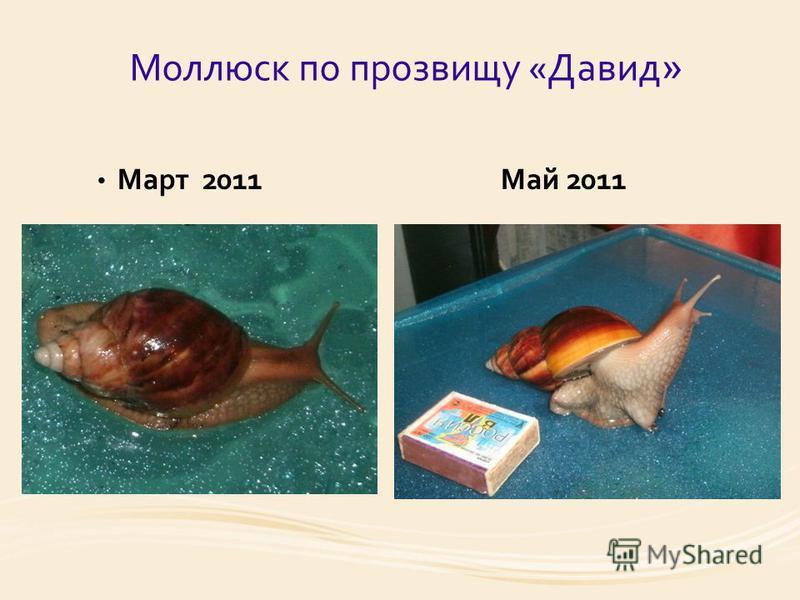 Моллюск по прозвищу «Давид » Март 2011 Май 2011