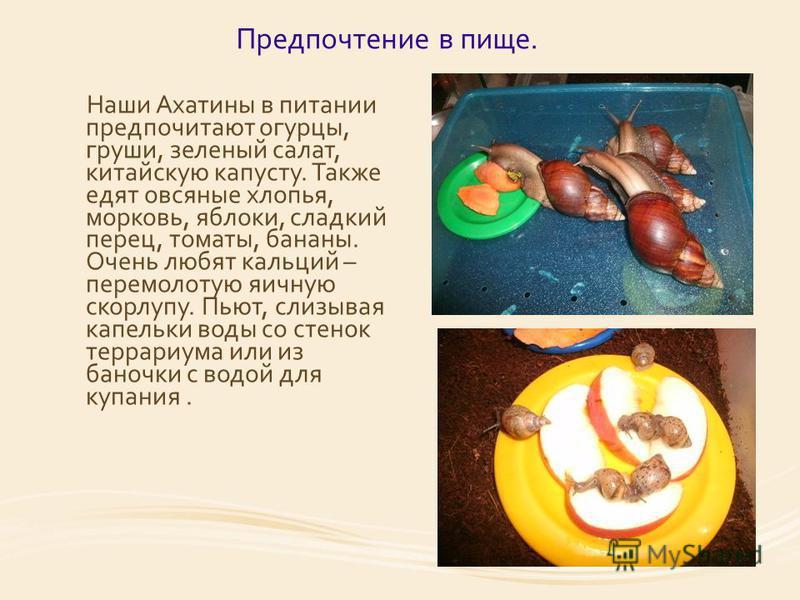 Предпочтение в пище. Наши Ахатины в питании предпочитают огурцы, груши, зеленый салат, китайскую капусту. Также едят овсяные хлопья, морковь, яблоки, сладкий перец, томаты, бананы. Очень любят кальций – перемолотую яичную скорлупу. Пьют, слизывая кап