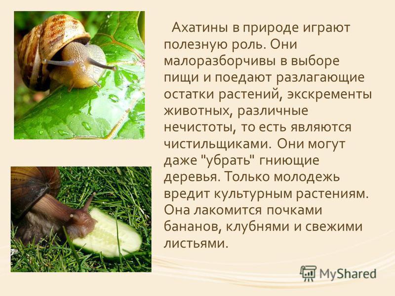 Ахатины в природе играют полезную роль. Они малоразборчивы в выборе пищи и поедают разлагающие остатки растений, экскременты животных, различные нечистоты, то есть являются чистильщиками. Они могут даже