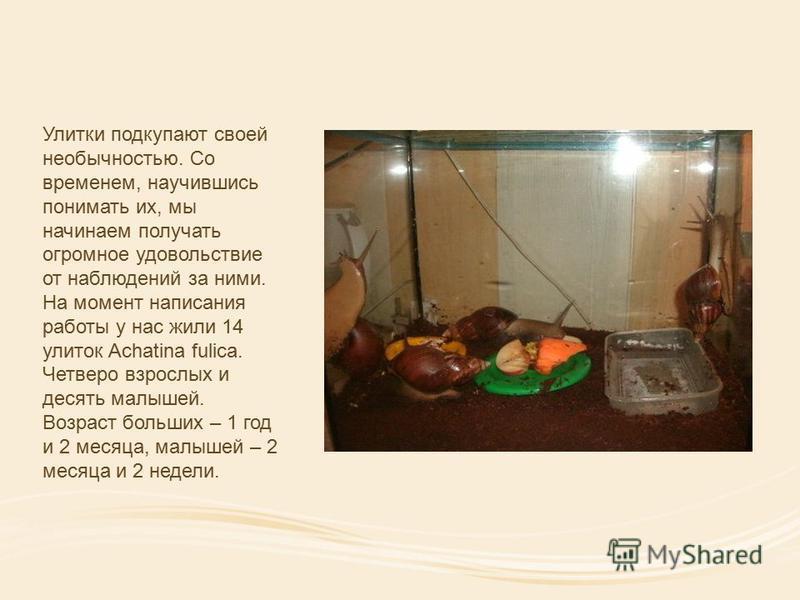 Улитки подкупают своей необычностью. Со временем, научившись понимать их, мы начинаем получать огромное удовольствие от наблюдений за ними. На момент написания работы у нас жили 14 улиток Achatina fulica. Четверо взрослых и десять малышей. Возраст бо