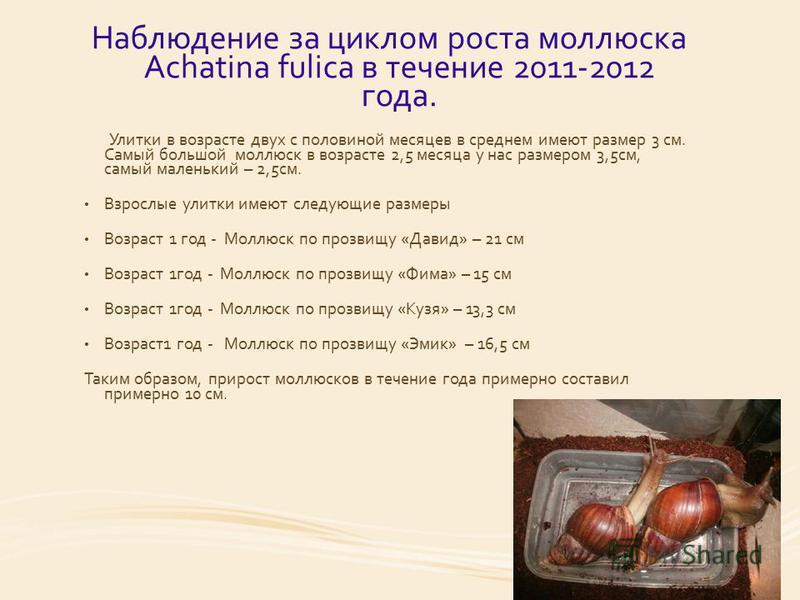 Наблюдение за циклом роста моллюска Achatina fulica в течение 2011-2012 года. Улитки в возрасте двух с половиной месяцев в среднем имеют размер 3 см. Самый большой моллюск в возрасте 2,5 месяца у нас размером 3,5 см, самый маленький – 2,5 см. Взрослы