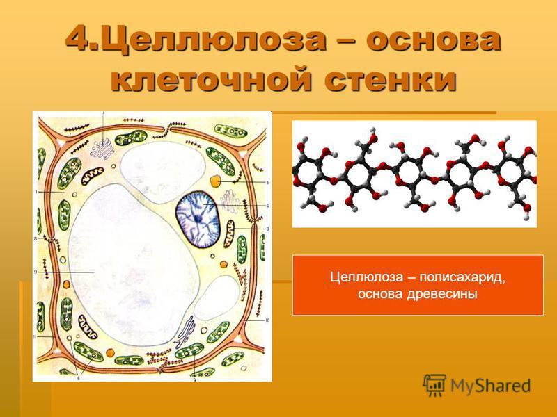 4. Целлюлоза – основа клеточной стенки Целлюлоза – полисахарид, основа древесины