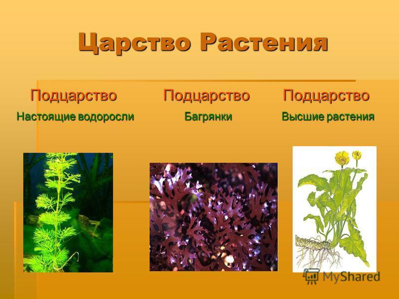 Царство Растения Подцарство Настоящие водоросли Настоящие водоросли Подцарство Багрянки Багрянки Подцарство Высшие растения Высшие растения