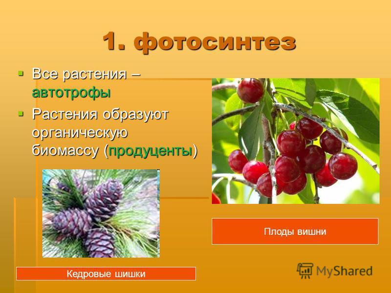 1. фотосинтез Все растения – автотрофы Все растения – автотрофы Растения образуют органическую биомассу (продуценты) Растения образуют органическую биомассу (продуценты) Плоды вишни Кедровые шишки