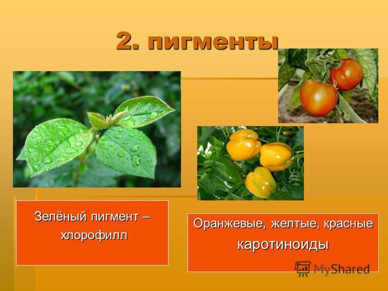 2. пигменты Зелёный пигмент – хлорофилл хлорофилл Оранжевые, желтые, красные каротиноиды