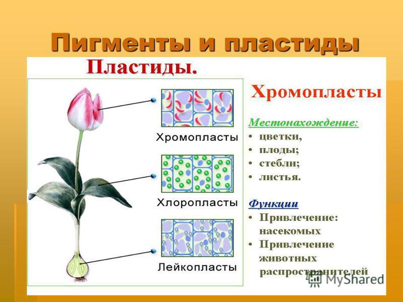 Душак О.М. Железногорск Пигменты и пластиды