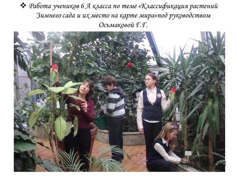 Работа учеников 6 А класса по теме «Классификация растений Зимнего сада и их место на карте мира»под руководством Осьмаковой Г.Г.