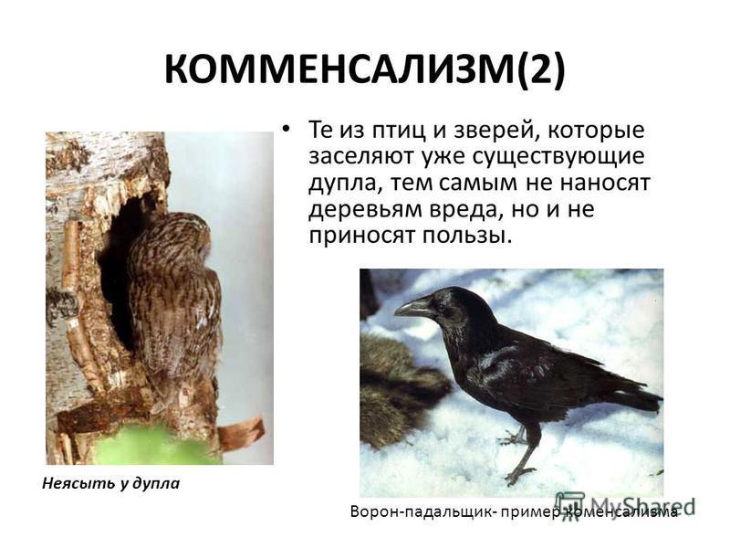 КОММЕНСАЛИЗМ(2) Те из птиц и зверей, которые заселяют уже существующие дупла, тем самым не наносят деревьям вреда, но и не приносят пользы. Неясыть у дупла Ворон-падальщик- пример комменсализма