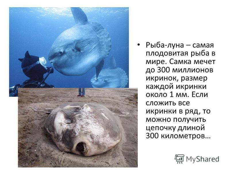 Рыба-луна – самая плодовитая рыба в мире. Самка мечет до 300 миллионов икринок, размер каждой икринки около 1 мм. Если сложить все икринки в ряд, то можно получить цепочку длиной 300 километров…