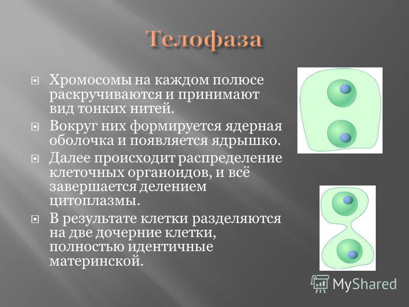 Хромосомы на каждом полюсе раскручиваются и принимают вид тонких нитей. Вокруг них формируется ядерная оболочка и появляется ядрышко. Далее происходит распределение клеточных органоидов, и всё завершается делением цитоплазмы. В результате клетки разд