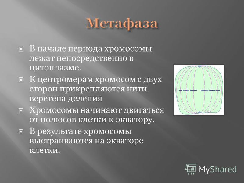 В начале периода хромосомы лежат непосредственно в цитоплазме. К центромерам хромосом с двух сторон прикрепляются нити веретена деления Хромосомы начинают двигаться от полюсов клетки к экватору. В результате хромосомы выстраиваются на экваторе клетки