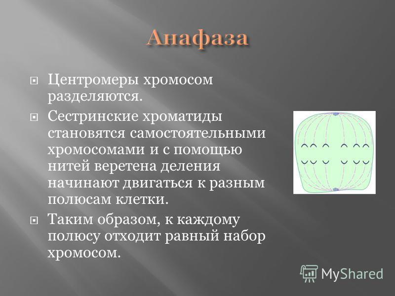 Центромеры хромосом разделяются. Сестринские хроматиды становятся самостоятельными хромосомами и с помощью нитей веретена деления начинают двигаться к разным полюсам клетки. Таким образом, к каждому полюсу отходит равный набор хромосом.