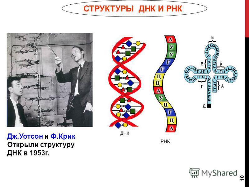 10 СТРУКТУРЫ ДНК И РНК Дж.Уотсон и Ф.Крик Открыли структуру ДНК в 1953 г.
