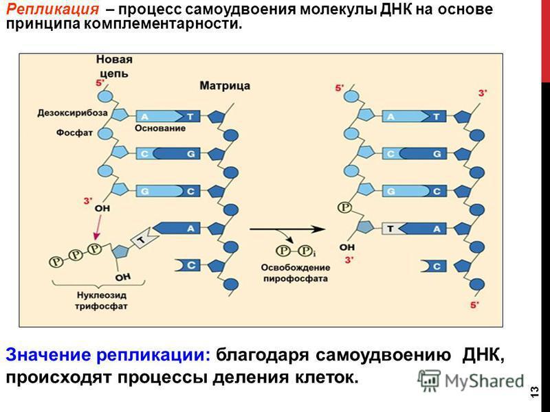 Репликация – процесс самоудвоения молекулы ДНК на основе принципа комплементарности. 13 Значение репликации: благодаря самоудвоению ДНК, происходят процессы деления клеток.