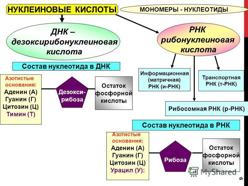9 НУКЛЕИНОВЫЕ КИСЛОТЫ МОНОМЕРЫ - НУКЛЕОТИДЫ ДНК – дезоксирибонуклеиновая кислота РНК рибонуклеиновая кислота Состав нуклеотида в ДНК Состав нуклеотида в РНК Азотистые основания: Аденин (А) Гуанин (Г) Цитозин (Ц) Урацил (У): Рибоза Остаток фосфорной к