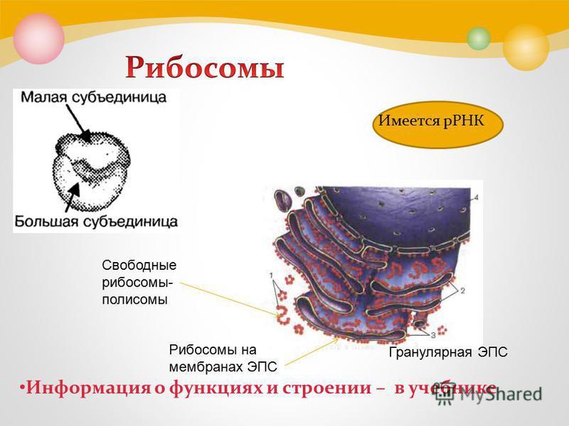 Имеется рРНК Информация о функциях и строении – в учебнике Свободные рибосомы- полисомы Рибосомы на мембранах ЭПС Гранулярная ЭПС