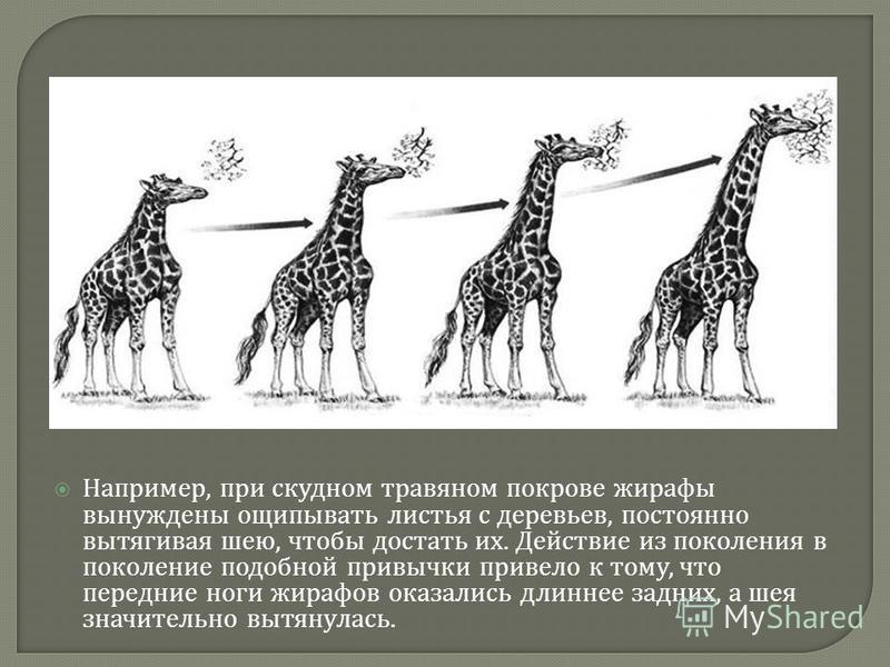 Например, при скудном травяном покрове жирафы вынуждены ощипывать листья с деревьев, постоянно вытягивая шею, чтобы достать их. Действие из поколения в поколение подобной привычки привело к тому, что передние ноги жирафов оказались длиннее задних, а