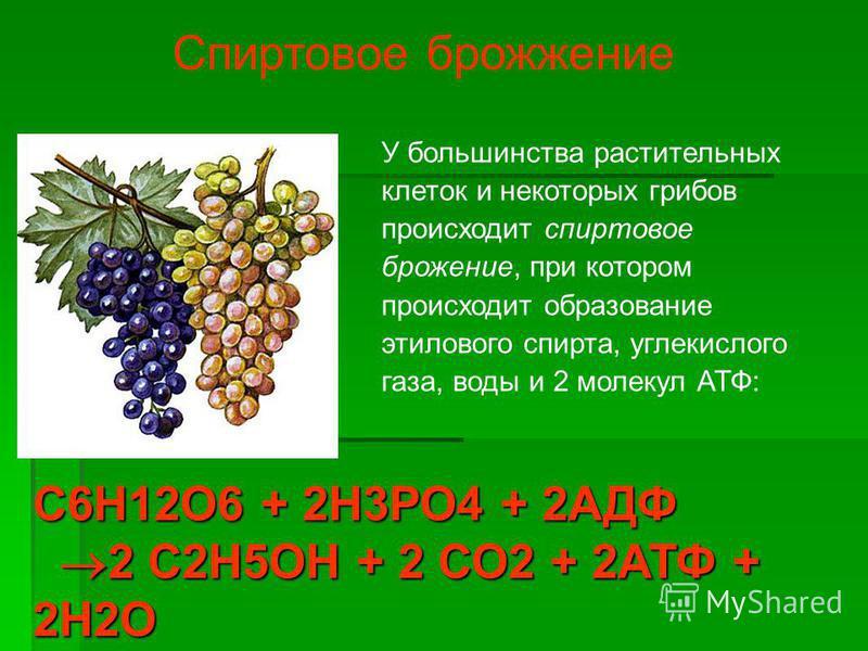 У большинства растительных клеток и некоторых грибов происходит спиртовое брожение, при котором происходит образование этилового спирта, углекислого газа, воды и 2 молекул АТФ: Спиртовое брожение С6Н12О6 + 2Н3РО4 + 2АДФ 2 С2Н5ОН + 2 СО2 + 2АТФ + 2Н2О