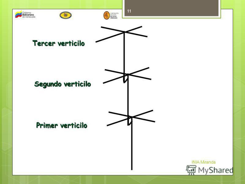 INIA Miranda 11 Primer verticilo Segundo verticilo Tercer verticilo
