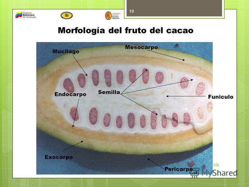 INIA Miranda 19 Exocarpo Mucilago Endocarpo Mesocarpo Semilla Morfología del fruto del cacao Pericarpo Funiculo