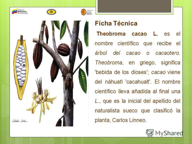 Ficha Técnica Theobroma cacao L. es el nombre científico que recibe el árbol del cacao o cacaotero. Theobroma, en griego, significa 'bebida de los dioses'; cacao viene del náhuatl 'cacahualt'. El nombre científico lleva añadida al final una L., que e
